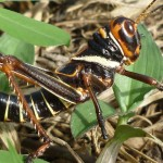 Black and orange cricket in Brazil