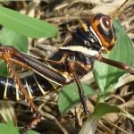 Black and orange cricket in Brazil
