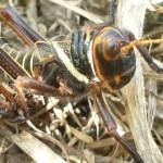 Black and orange cricket