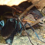 Mummy solitary blue hornet eating a tarantula