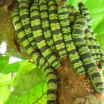 Loads of caterpillars together for protection