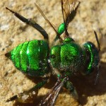 Shiny green bee dying