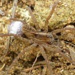 Mother tarantula carrying egg sack