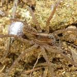 Mother tarantula carrying egg sack