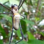 Massive spider covering the path in the Brazilian jungle