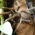 Brown Tarantula in Brazilian leaf matter
