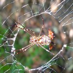 Spider with a spiny backside