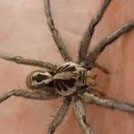 Tarantula closup in Brazil