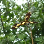 Flying black and yellow dragonfly in Brazil