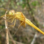 Yellow dragonfly in the bushes India