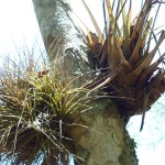 Tree climbing plants