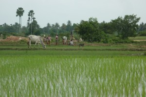 Rice paddy fields in Cambodia