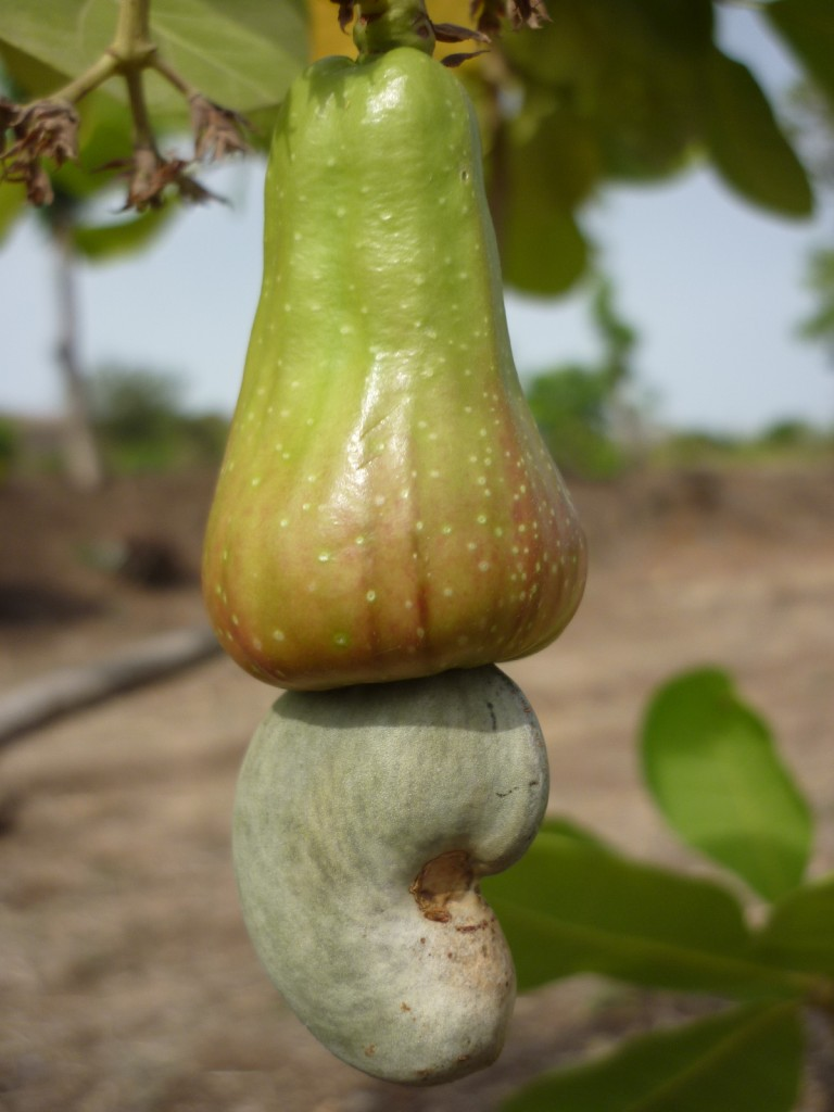 Cashew fruit an exotic fruit