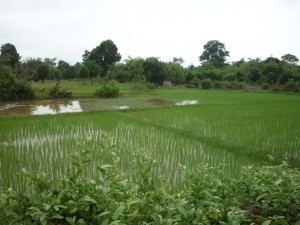 Rice paddy fields in Laos on Cambodia Laos boarder